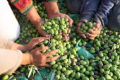 A Palestinian family pick olives during the harvest season near the village of Salem east of Nablus in the Israelioccupied West Bank on October 11...