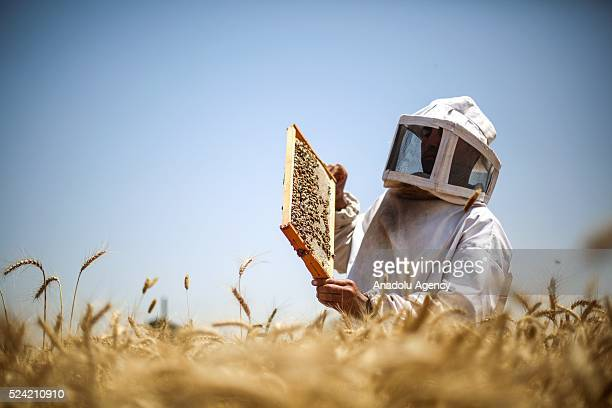 Palestinian farmer Ahmad Kadih holds beehive frame covered by bees at 800 meters close to the Israeli borders due to limited forage and flower fields...