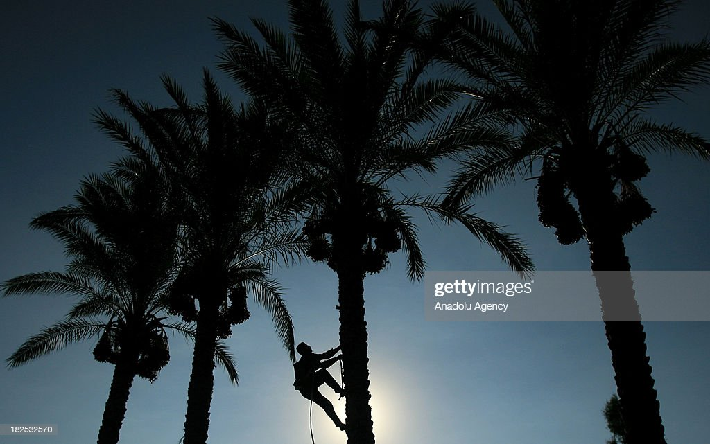 Palestinian farmer climbs a date palm tree to collect dates during the date picking season on September 29, 2013 in Khan Yunis, southern Gaza Strip.