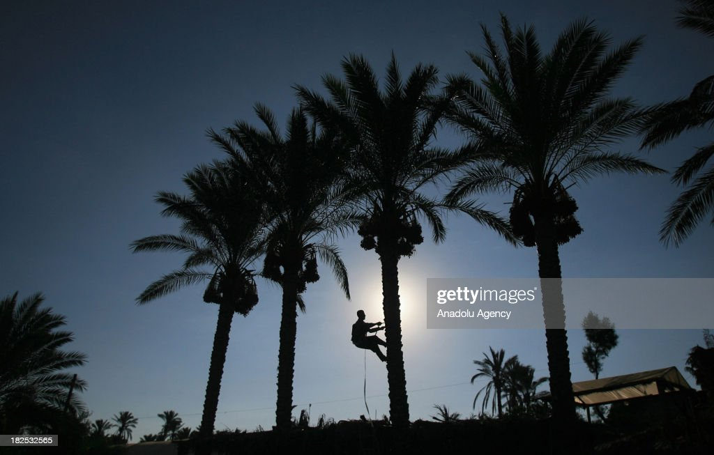 Palestinian farmer climbs a date palm tree to collect dates trees during the date picking season on September 29, 2013 in Khan Yunis, southern Gaza Strip.