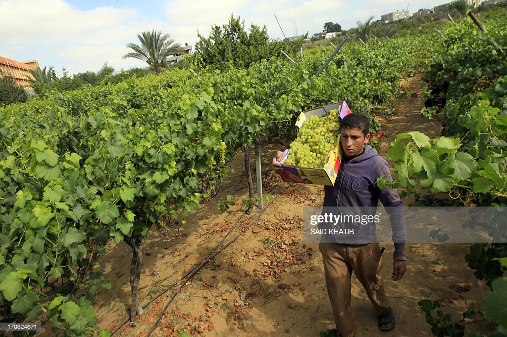 A Palestinian farmer collects grapes from a field cultivated in Rafah, in the southern Gaza Strip on June 11, 2013. The grapes are for local consumption in the Hamas governed Gaza Strip.
