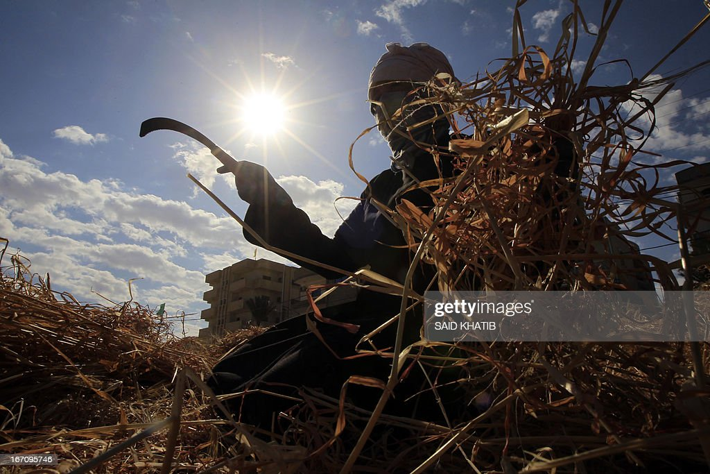 A Palestinian farmer collects wheat in her family's field during the annual harvest season outside the Rafah refugee camp in the southern Gaza Strip on April 20, 2013. AFP PHOTO/SAID KHATIB