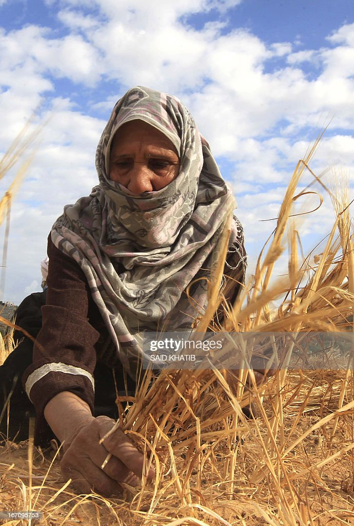 A Palestinian farmer collects wheat in her family's field during the annual harvest season outside the Rafah refugee camp in the southern Gaza Strip on April 20, 2013.