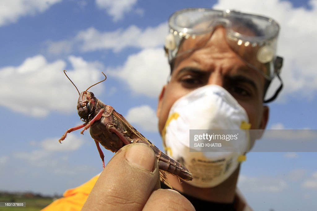 A Palestinian farmer displays a locust at a farm in Khan Yunis in the southern Gaza Strip on March 5, 2013. According the UN Food and Agriculture Organization (FAO) a swarm of tens of millions of locusts has overtaken Egyptian desert land in the past few days and is heading to the Gaza Strip, Israel and Jordan.