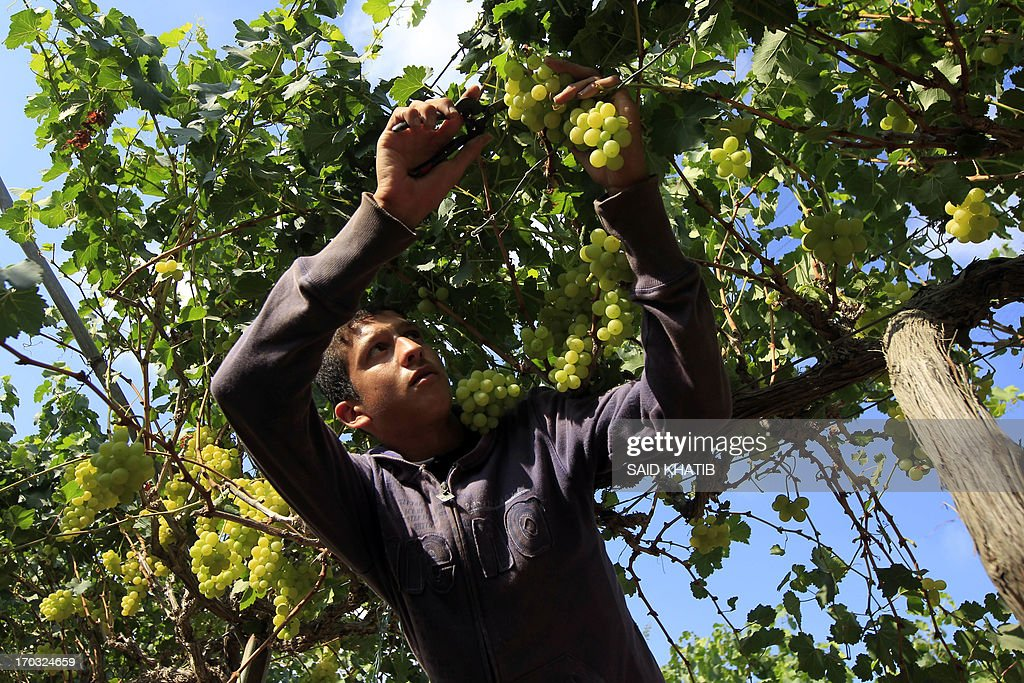 A Palestinian farmer harvests grapes from a field cultivated in Rafah, in the southern Gaza Strip on June 11, 2013. The grapes are for local consumption in the Hamas governed Gaza Strip.