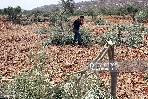 A Palestinian farmer holds a broken branch of an olive tree in a grove in the West Bank village of Qusra some 15 kilometres southeast of Nablus after...