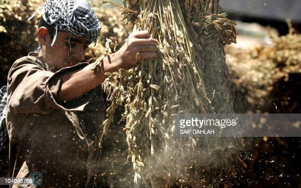 A Palestinian farmer shakes a bundle of shocks to collect sesame seeds during the harvesting season in the West Bank village of Yamun near Jenin on...