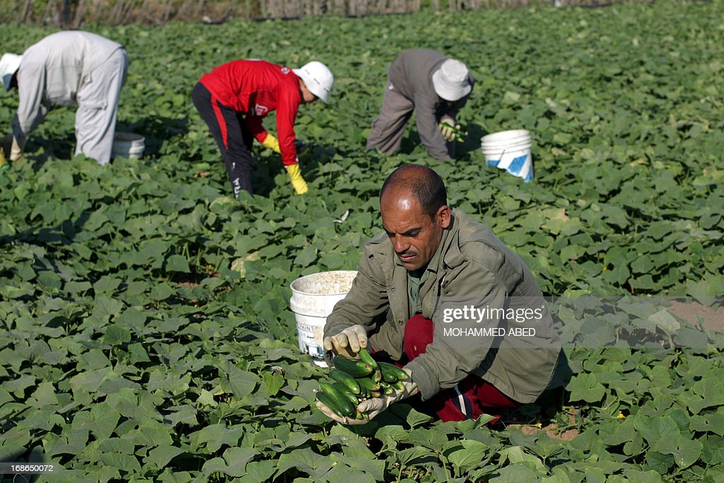 Palestinian farmers collect organically grown cucumbers in a field in Gaza City, on May 13, 2013. The cucumbers were grown without the use of chemical fertilizers.
