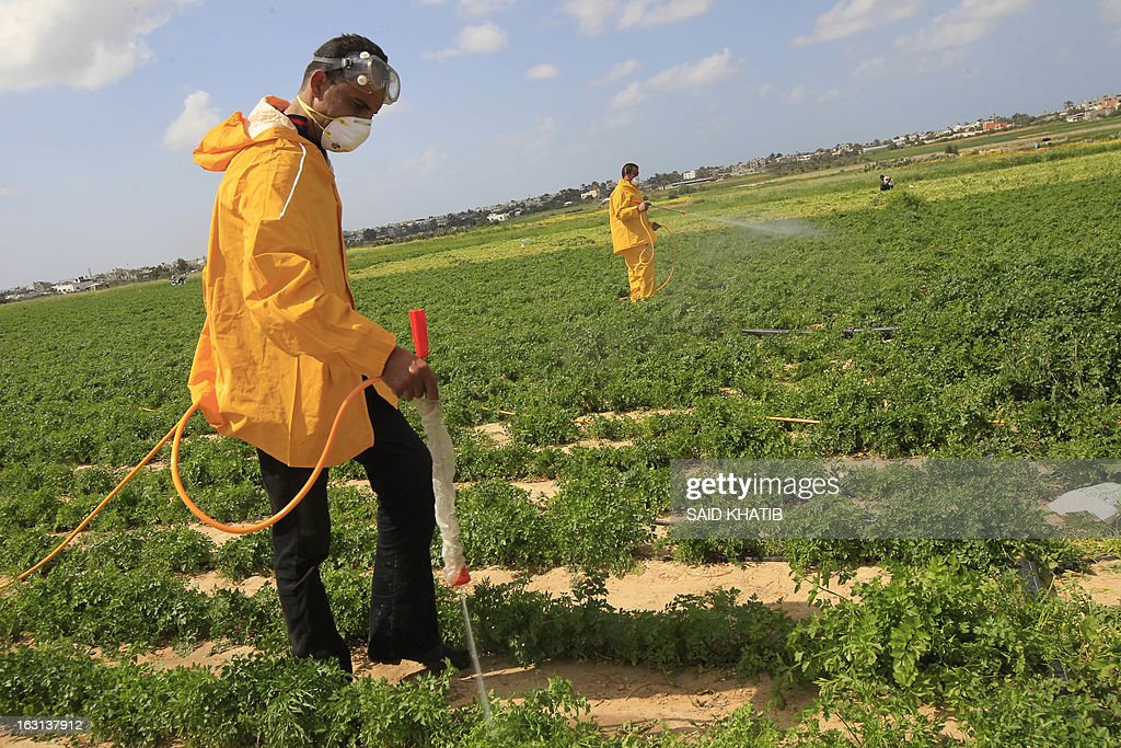 Palestinian farmers spray insecticide against locust at a field in Khan Yunis in the southern Gaza Strip on March 5, 2013. According the UN Food and Agriculture Organization (FAO) a swarm of tens of millions of locusts has overtaken Egyptian desert land in the past few days and is heading to the Gaza Strip, Israel and Jordan.