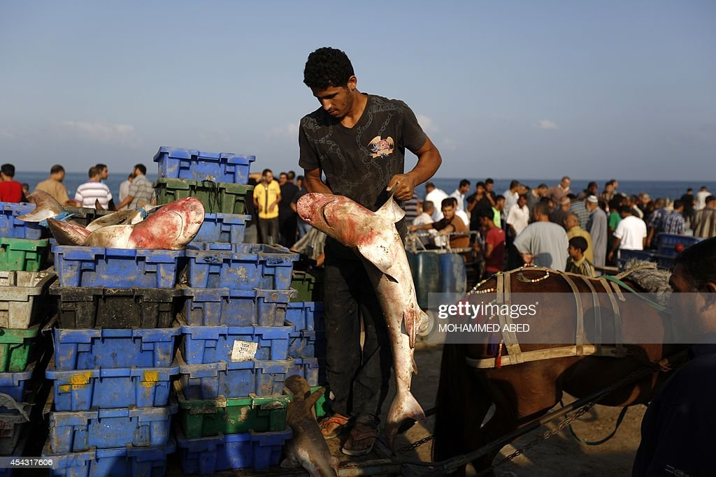 A Palestinian fisherman loads a cart with baby sharks at Gaza's seaport in Gaza City early on August 29, 2014. Israel and Hamas accepted an Egyptian proposal for a long-term ceasefire in war-torn Gaza on August 26 in a move to end 50 days of bloodshed. Restrictions imposed on Gaza fishermen are to be relaxed, with an immediate extension of the fishing zone to six nautical miles from the shore, to be extended later to 12 miles.