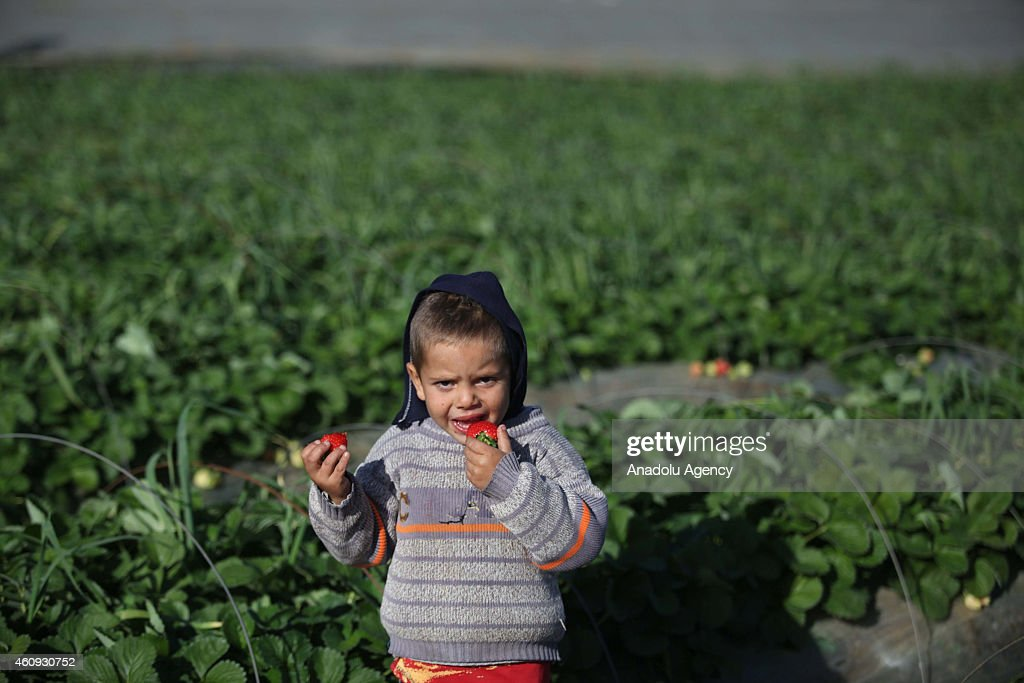 Palestinian kid eats strawberries in a strawberry field in Beit Lahia, Gaza on December 29, 2014. Palestinian farmers have started strawberry harvest, one of the few crops that Israel, who launches land, air, and sea blockade on the Gaza Strip since 2007, allows to be exported from the Gaza Strip to the European market. Strawberry growers report that this year's crop fertility dropped dramatically as a result of 51 days of Israeli bombing which delayed planting of the seeds.