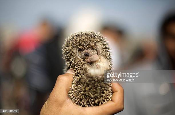 A Palestinian man displays a hedgehog for sale at a weekly pet market in Gaza City on November 22 2013 Hundreds of bird fans and merchants gather...