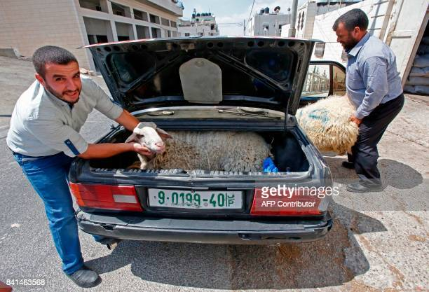A Palestinian man holds the head of a sheep placing it in the trunk of his car while another man places a ram in the car's back seat in the West Bank...