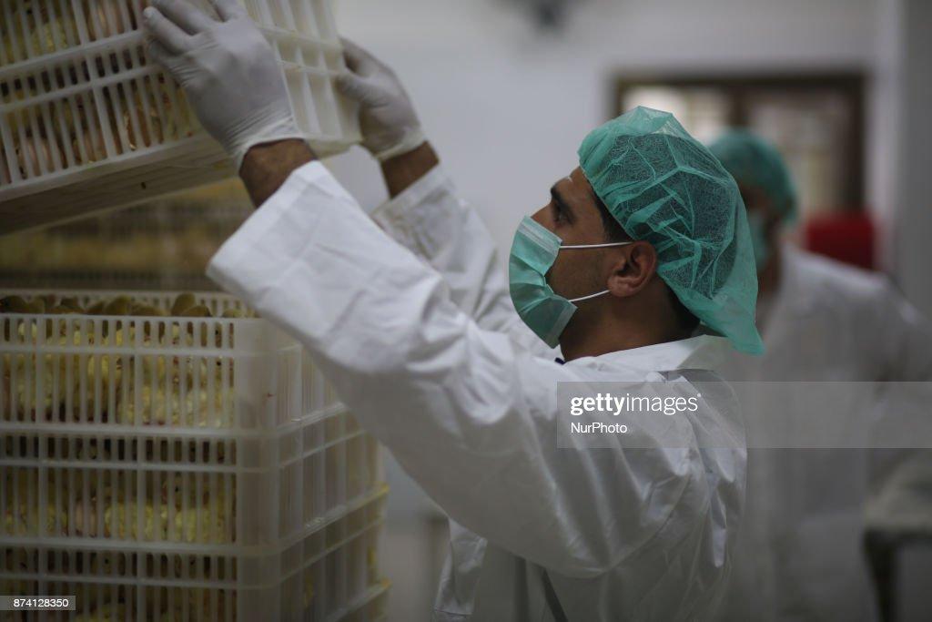Palestinian men work at a Chicken Hatchery in Gaza city on November 14, 2017.