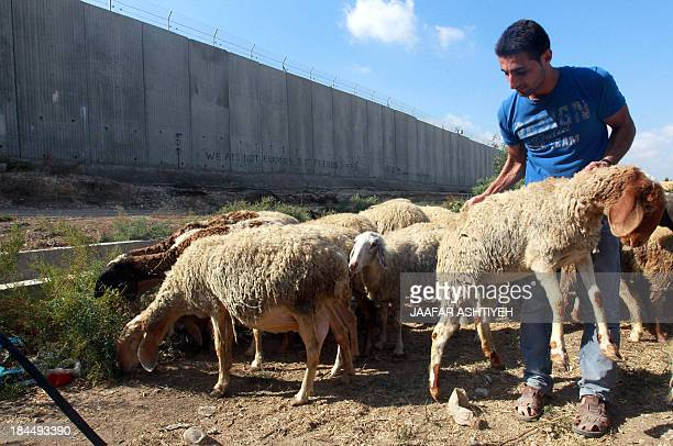 A Palestinian Muslim man chooses a sheep as he prepares to celebrate the holy festival of Eid alAdha at a livestock market next to Israel's...
