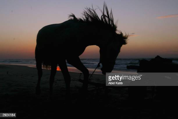 Palestinian ostler tames horses at sunset on a Gaza City beach February 2 2004 in the Gaza Strip The local man is breaking the horses so they can be...