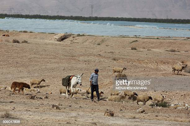 A Palestinian shepherd herds his flock in agricultural land in the Israeli occupied West Bank near the Palestinian city of Jericho in the Jordan...