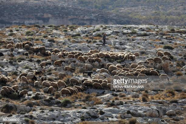 Palestinian shepherd herds his sheep on a hill near the Palestinian village of Duma in the West Bank on October 12 2017 / AFP PHOTO / MENAHEM KAHANA