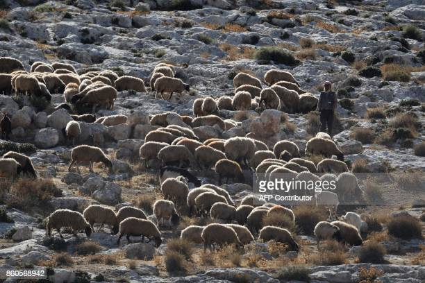 A Palestinian shepherd herds his sheep on a hill near the Palestinian village of Duma in the West Bank on October 12 2017 / AFP PHOTO / MENAHEM KAHANA