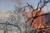 A Palestinian uses branches to extinguishe a fire that consumes an olive tree grove on October 9 2013 in the northern West Bank village of Jalud...