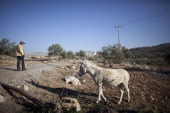 Palestinian walks with a donkey on December 01 2010 near the West Bank town of Qalqilya Since 2000 SHADH have rescued over 1000 donkeys and horses...
