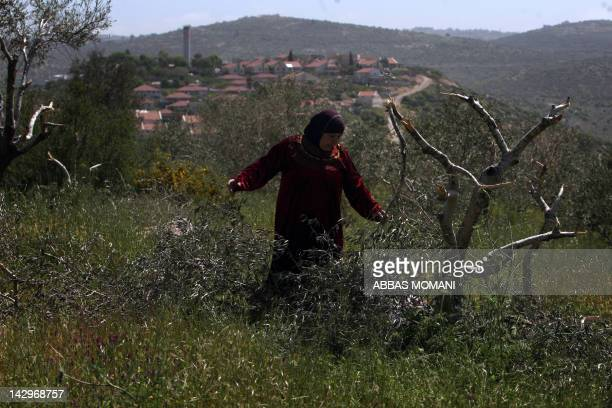 A Palestinian woman checks on the broken olive trees in her orchard in Beit ilu village west of Ramallah on April 16 2012 that is believed to have...