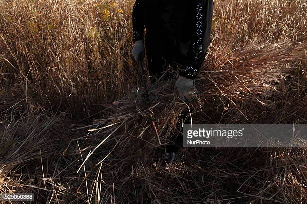 Palestinian woman cleans the wheat of soil after harvest Asawiyah village near nablus city of the West Bank on May 31 2015 Nablus city northern of...