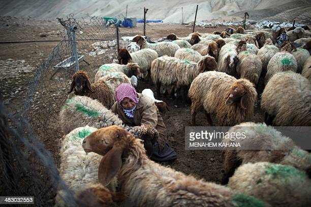 Palestinian woman from the Bani Mania family milks sheep in her camp which was demolished by the Israeli Authorities after they declared his village...