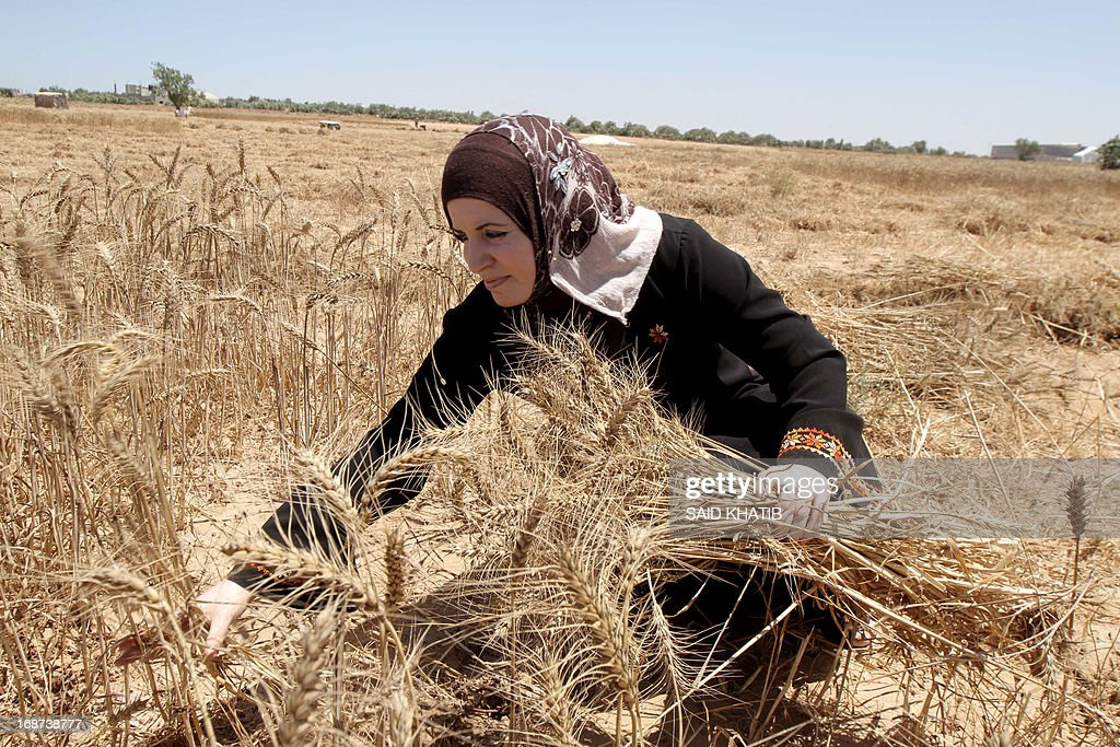 A Palestinian woman harvests wheat following a rally to commemorate Nakba day near the border between Israel and Rafah in the southern Gaza Strip on May 14, 2013. Palestinians and Arab Israelis are preparing to mark Nakba Day on May 15 which commemorates the exodus of hundreds of thousands of their kin after the establishment of Israel state in 1948.