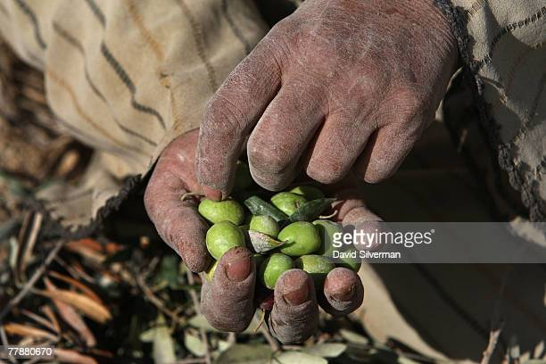Palestinian woman Nihad Oudi aged 57 collects fallen olives from the dusty ground as her family with the help of leftwing Israeli and foreign...