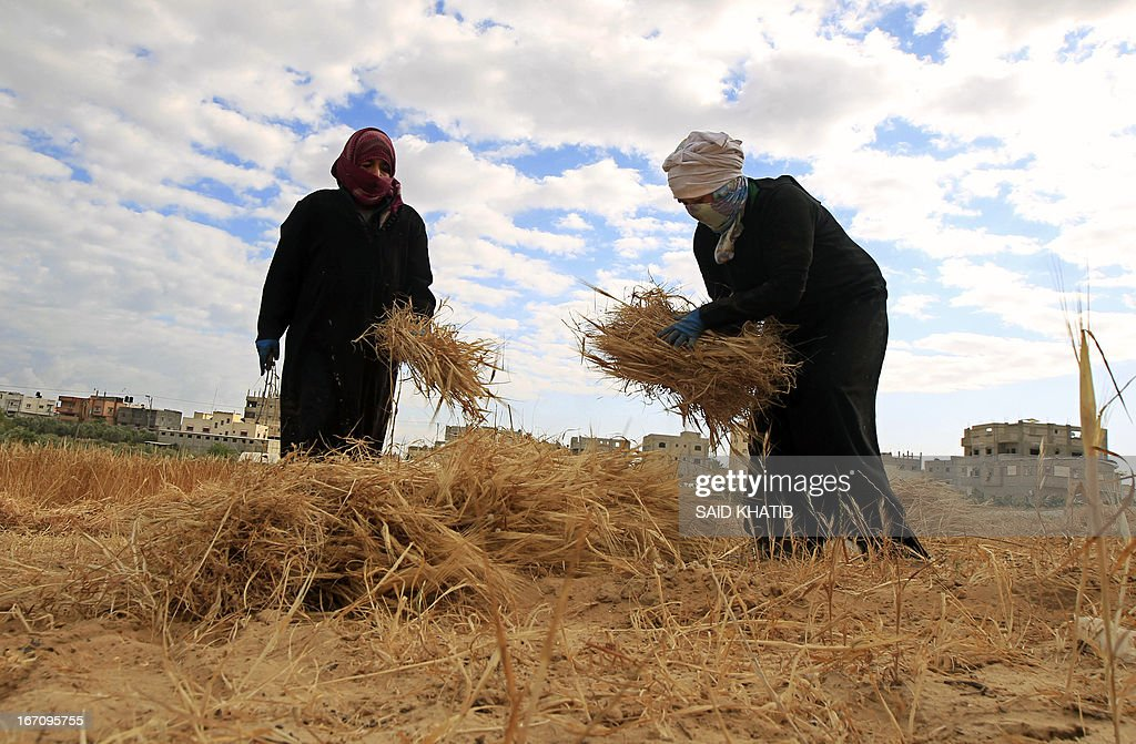 Palestinian women collect wheat in their family's field during the annual harvest season outside the Rafah refugee camp in the southern Gaza Strip on April 20, 2013.