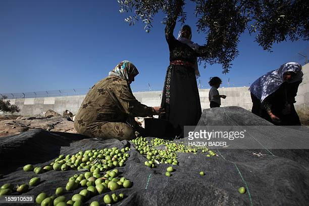 Palestinian women from AlSweity family harvest the olive trees in their grove on October 11 where Israel has built the controversial separation...