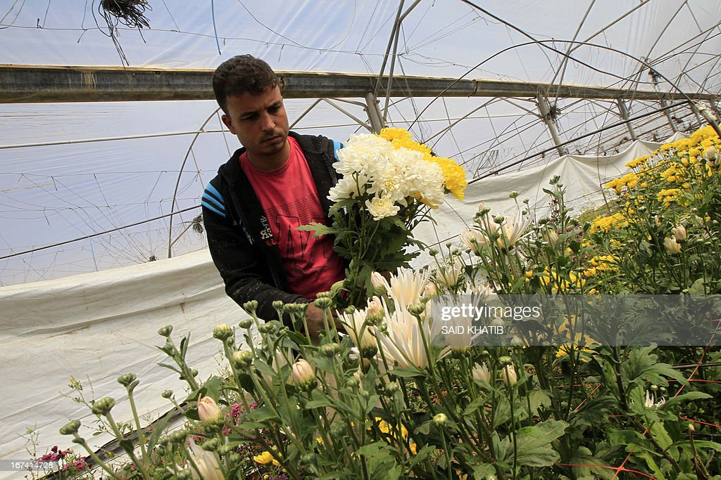 A Palestinian worker collects carnations at the Hijazi flower farm in Rafah town, in the southern Gaza Strip, on April 25, 2013. Palestinian farmers fed their livestock part of this year's flower crop, a product grown almost exclusively for export to the European market, due to export restrictions, imposed by Israel after the Islamist Hamas party took control of the impoverished strip. AFP PHOTO/ SAID KHATIB