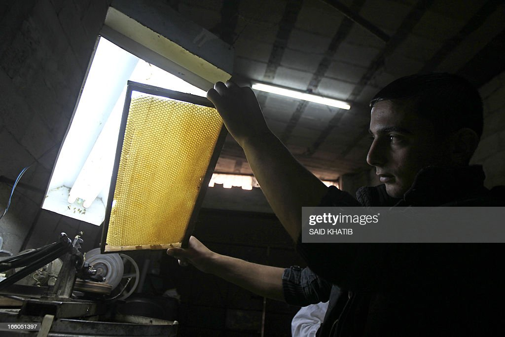 A Palestinian worker inspects a rack at the honey-bee farm of Ahmed Zoarob, a Palestinian agronomist and on April 8, 2013 in Rafah in the southern Gaza Strip. The apiary's 450 bees produce some 4.000 kilos of honey every year, that are exclusively sold in the Gaza Strip.