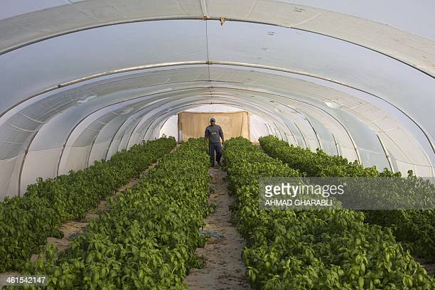 Palestinian worker walks inside a green house at an Israeli agricultural center established in 1982 in the village of Naama in the occupied West Bank...