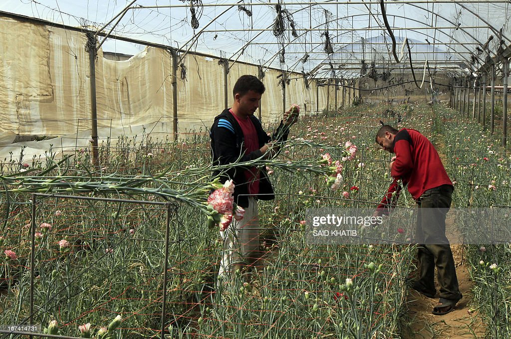 Palestinian workers collect carnations at the Hijazi flower farm in Rafah town, in the southern Gaza Strip, on April 25, 2013. Palestinian farmers fed their livestock part of this year's flower crop, a product grown almost exclusively for export to the European market, due to export restrictions, imposed by Israel after the Islamist Hamas party took control of the impoverished strip.
