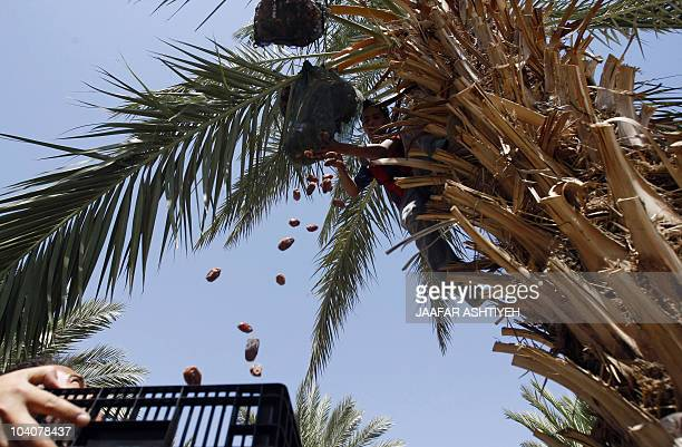 Palestinian workers pick up dates on September 9 2010 from a palm tree in the village of Jiftlik north of the West Bank city of Jericho during the...