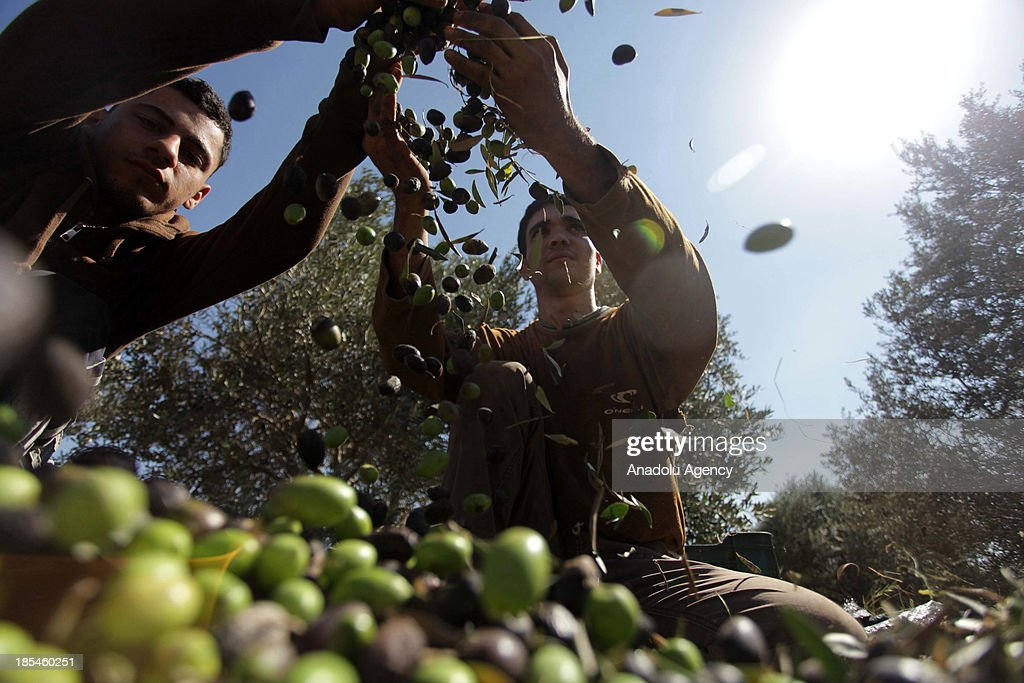 Palestinian workers seperate the olives from the leaves after they picked them for extracting oil and making olive oil soap on October 20 2013 in...