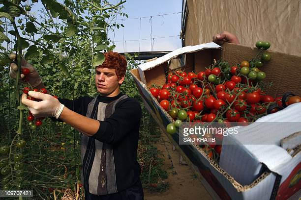 A Palestinian youth picks cherry tomatoes at a field in the southern Gaza Strip on March 02 2011 Israel has granted special approval for the export...