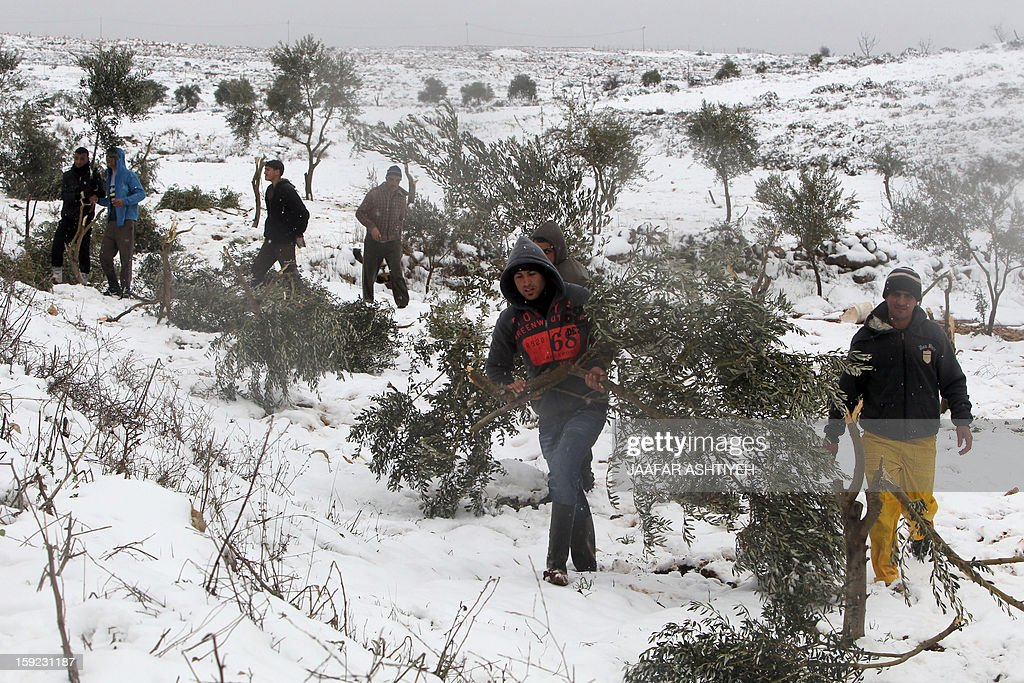 Palestinian youths inspect olive trees after they were cut by Israeli settlers from the nearby Esh Kodesh settlement on January 10, 2013 in village of Qusra, south of the city of Nablus, in the Israeli occupied West Bank. Israeli settlers opened fire in the northern West Bank wounding two Palestinians in separate incidents, Palestinian security forces and witnesses said. AFP PHOTO/JAAFAR ASHTIYEH