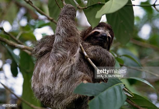 Palethroated sloth Bradypodidae Cahuita National Park Costa Rica