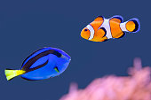 Palette surgeonfish and clown fish swimming together in blue water. These two beautiful fishes have very bright and striking colors. I saw these animals in an aquarium  and I photographed them through