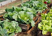 A pallet garden with cabbages and lettuce.