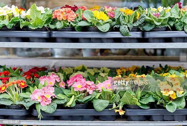 Pallets of primroses at market