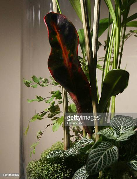 Palm background fetonia bottom right croton red leaf in center and maidenhair fern bottom are arranged in a glass cylindrical terrarium