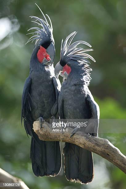 Palm Cockatoos, pair / (Probosciger atterimus)