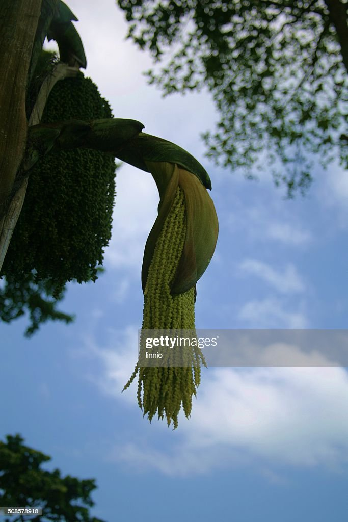palm flower : Stock Photo