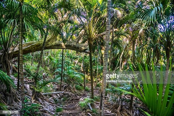 Palm forest at Lord Howe Island