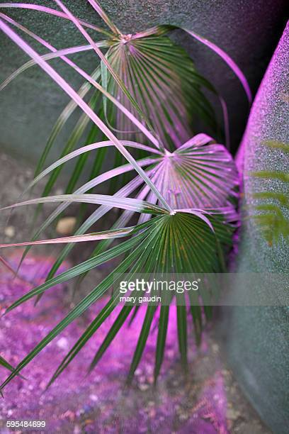 Palm fronds in glasshouse with pink light