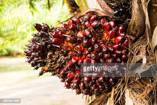Palm fruit on tree : Stock Photo